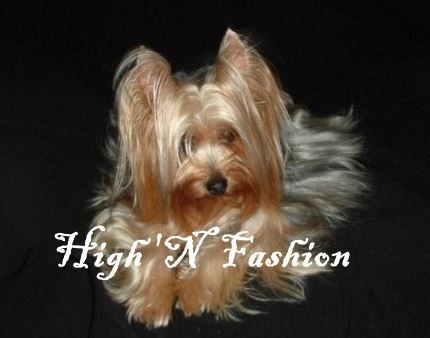 Fashion Yorkies